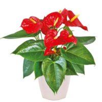 αποστολή λουλουδιών anthoyrio