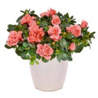 αποστολή λουλουδιών azalea