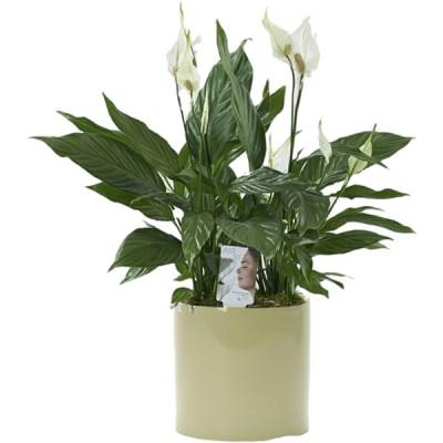 αποστολη λουλουδιων spathifilo